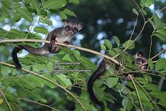 Common palm civet (Paradoxurus hermaphroditus) (Zaharil/ Texas) Tags: nature animal fauna forest mammal southeastasia nocturnal wildlife tropical carnivore biodiversity vertebrate arboreal peninsularmalaysia westmalaysia asianpalmcivet leastconcerniucnredlist