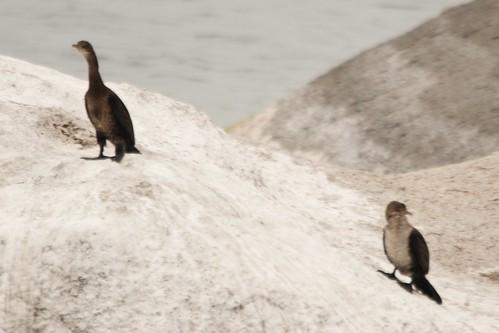Long-tailed Cormorants