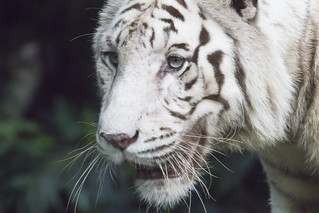 White Tiger_Canon EOS-650D_Canon 400mm f/4 IS USM DO + 1.4X