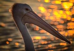 Nigel at Evans (dazza17 - DJ) Tags: bird nature evans head pelican nsw 500mm suset evanshead bokah