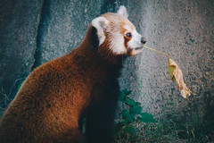 IMG_0276 (SwiftTheFox) Tags: red cute smile animal animals canon fur happy zoo pheasant wildlife adorable ears 300mm redpanda 5d lioness memphiszoo redpandas 300mmf4 300mmf4l ladyamherstpheasant canonef300mmf4lusm canon5dmkii 5dmarkii 5d
