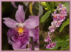 """Miltonidium Carnivale """"Okika"""" Orchid (ddarbela) Tags: plant orchid orchids exotic carnivale miltonidium exoticflower exoticflowers greatnature usbotanicalgarden okika"""