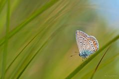 Dream land IV (Danny_Little) Tags: nature butterflies romania closeups bucuresti sigma105mmf28exdgmacro nikond90 macromarvels kenkotelepluspro30014x