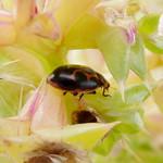 Seaside Lady Beetle thumbnail