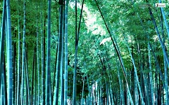 Bamboo forest wallpaper (Infoway LLC - Website Development Company) Tags: wallpaper beautiful wonderful nice superb awesome images exotic hd illustrator incredible breathtaking classy bambooforest mindblowing dryforest amazonrainforest greenforest winterforest woodforest junglewallpaper sunsetwallpaper islandwallpaper summerforest responsivewebsitedesign bambooforestwallpaper subtropicalforestwallpaper waterfallintropicalforest responsivewebdesigncompany mountainsnowforest yellowredautumnforest tropicaldesertisland tropicalforestwithriver