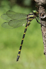 Tiger Spiketail (Cordulegaster erronea) M (docshark) Tags: this is special species concern
