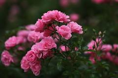 : Rose (eyawlk60) Tags: flowers autumn roses favorite flower rose canon garden eos 5d   rosegarden nakanoshima        vision:outdoor=086 vision:plant=0953 vision:flower=088