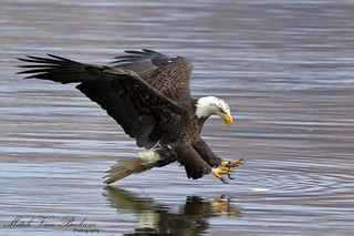 What The Fish Last Saw - Bald Eagle (Conowingo Dam, MD)