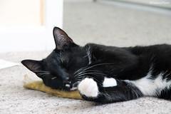 The Boys (SHaddowPhoto) Tags: uk portrait cats animals cat brighton kittens
