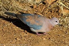 Laughing Dove, Walter Sisulu Botanical Gardens, Sept 2013 (roelofvdb) Tags: dove places september date 355 laughingdove 2013 wsbg southernafricanbirds dovelaughing