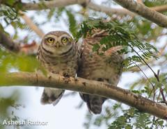 Spotted Owlet (asheshr) Tags: india bird nikon owlet spottedowlet athenebrama d5100