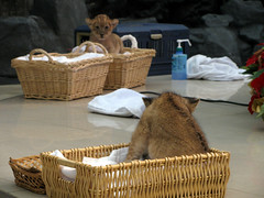 2739 Baby Lions (mari-ten) Tags: animal japan zoo lion  kansai wakayama 2010 shirahama eastasia babyanimal adventureworld     201012 20101203