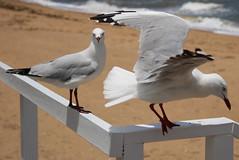 seagulls (6) (bertknot) Tags: seagulls seagull gull gulls mwe gaviota meeuw meeuwen gabbiano gaivota goland ms lokki zeemeeuw mge zeemeeuwen mewa sirly dalg   diemwe mouettedupegolandgolandbeccerclgolandargentgolandcendrgolandmarinmouetterieuse zeemeeuwenmeeuw