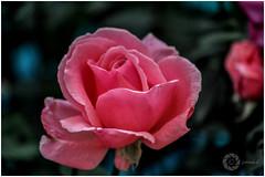 PINK (Ramalakshmi Rajan) Tags: pink flowers flower rose flowershow lalbaugflowershow ramalakshmirajan