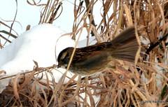 DSC_0030 (rachidH) Tags: snow nature birds nj sparrow neige sparta oiseaux moineau whitethroatedsparrow zonotrichiaalbicollis bruant bruantgorgeblanche rachidh