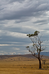 after everything (Keith Midson) Tags: summer sky tree clouds rural dry australia tasmania agriculture arid midlandhighway {vision}:{sky}=099 {vision}:{mountain}=0636 {vision}:{clouds}=099 {vision}:{ocean}=0958 {vision}:{beach}=0625 {vision}:{sunset}=0521 {vision}:{outdoor}=0961