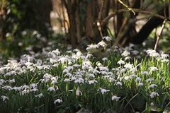 Snowdrop Glade (Paul *) Tags: wood flowers winter white spring snowdrops glade snowdrop