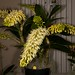 Den. speciosum – Anita & Jerry Spencer