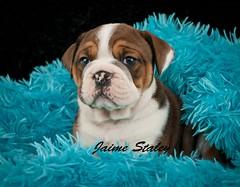 Bulldog Puppy (Jaime401) Tags: blue dog pet baby cute english animal blackbackground puppy photography soft fuzzy sweet adorable canine bulldog sleepy tired blanket domesticanimals