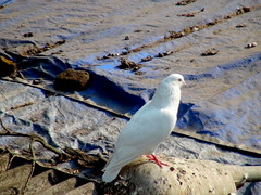 DOVE - BATHED IN MILK !!!! (arzankotval2002) Tags: birds animals pigeon dove mumbai vidyavihar arzankotval sonyhdrpj50e