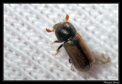 Trypodendron domesticum (cquintin) Tags: arthropoda coleoptera curculionidae ctedor domesticum macroinsectes trypodendron