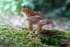 White Pine Bush (Home Land & Sea) Tags: newzealand mushrooms fungi nz pointshoot sonycybershot hawkesbay dsch3 homelandsea whitepinebush