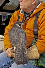 Peregrine Falcon & Owner (Falconer) by Richard DeKorte Park (Meadowlands), Lyndhurst, NJ:  5 of 8 in Series (takegoro) Tags: new nature birds animals wildlife meadowlands raptor falcon wetlands hunter marsh predator peregrine falconer jersey richarddekortepark lyndhurst