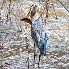 spindly legged fisherman (Sky Noir) Tags: blue fish bird heron river virginia great richmond va swamps northamerica catch shores majestic greatblueheron wading rva marshes