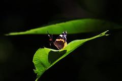 Butterfly (carloconforti) Tags: butterfly italia ngc ombra foglia mariposa farfalla boschetto borboletta veneto