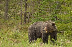 Nature's Great Weed Eaters (Hello, It's Me (off for a while)) Tags: bear canada danger britishcolumbia wildlife columbia canadian ridge british grizzly predator tumbler omnivore