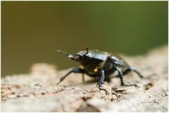 Vrouwtje Vliegend hert (7D028966) (Hetwie) Tags: nature female insect nederland natuur limburg kever stagbeetle vrouwtje lucanuscervus jabeek zeldzaam vliegendhert hertkever