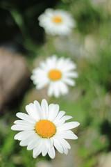 je t'aime un peu, beaucoup,.... (glookoom) Tags: nature fleurs couleurs t flou