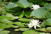 睡蓮 Water lily (ddsnet) Tags: plant flower waterlily sony taiwan 99 花 台灣 taoyuan aquaticplants 植物 slt α 水生植物 睡蓮 花卉 新屋蓮園 桃園縣 子午蓮 ヒツジグサ 瑞蓮 未草 nymphaeatetragona 水芹花 水洋花 小蓮花 新屋蓮花園 蓮花園區 singlelenstranslucent α99v