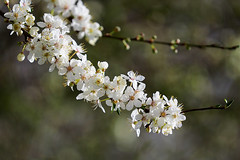 Blackthorn........ (klythawk) Tags: blackthornblossom prunusspinosa sunlight nature winter spring dof bokeh red yellow green brown black white olympus em1mkll 100400mm panasonic colwickpark nottingham klythawk