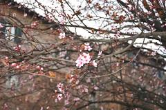 Primavera timida #1 (~Miel) Tags: primavera principianti fiori flowers tree spring rome roma nikond5200 nikon