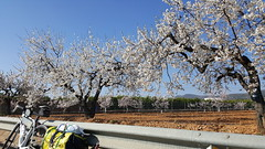Nochmals Orangenbäume und Mandelblüten (urs_himmelrich) Tags: frühling küstenstrasse mandelblüten mittelmeer oliven orangen peniscola spanien valencia winter