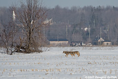 Winter Animalscape: Pair of Eastern Coyotes Trotting Across a Cornfield (griffithd68) Tags: wildlifephotography winterscenewithanimal wildlife wildlifepicture wildlifephotograph wildanimal winter winterscape animalphotography animal animalpicture animalphotograph coy coyote coywolf tweed wolf eastern nikond500 nikkor200500mmf56evrii