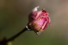 Winter rose (flubatti) Tags: