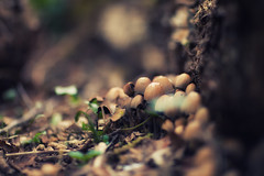 hidden mushrooms (arrowlili) Tags: mushrooms bokeh earthy browns 365