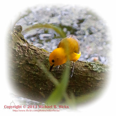Prothonotary Warbler (mikerhicks) Tags: bird geotagged unitedstates hiking tennessee wildlife brentwood prothonotarywarbler camera:make=canon exif:make=canon exif:iso_speed=1600 canon7d geo:city=brentwood geo:state=tennessee nashvillehikingmeetup radnorlakestatenaturalarea exif:focal_length=200mm oakhillestates geo:countrys=unitedstates camera:model=canoneos7d exif:model=canoneos7d exif:lens=18200mm exif:aperture=63 geo:lat=3605770300 geo:lon=8680124086 geo:lat=36057703333333 geo:lon=86801241666667