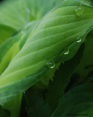Early Morning Drops (smfmi) Tags: floral leaves drops pentax michigan foliage vegetation waterdrops frohm