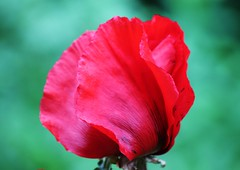 Scarlet (bigbrowneyez) Tags: flower beautiful closeup blossom bokeh vibrant gorgeous fresh precious poppy bloom elegant mygarden rosso brilliant delightful dazzling bello papavero bellissimo redpoppy fioro miogiardino scrlet
