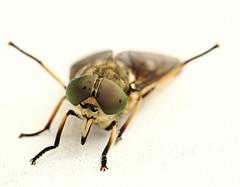 we need a bugtracker (idea-saras) Tags: macro bug bigeyes alien invasion horsefly clag gadfly deerfly cleg hugeeyes nikkor105mmf28gvrmicro zimb breezefly weneedabugtracker