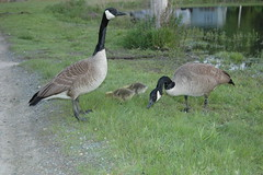 2007 Canadian Geese_47 (a1lightguy2) Tags: bird birds geese wildlife canadiangeese