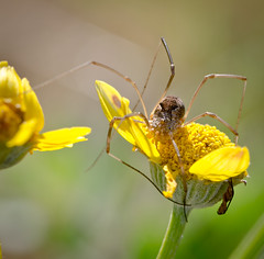 I have it covered. (Omygodtom) Tags: wild green yellow bug insect spider existinglight tamron90mm d7000 elitebugs