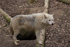 Grey Wolf (rich_price1) Tags: park beautiful animal canon mammal photography grey wolf wildlife cotswold greywolf