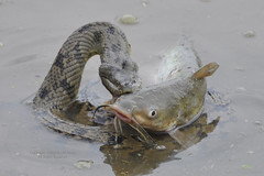 Diamond-backed Water Snake Attacking Then Eating Catfish (David Sledge) Tags: fish water snake attack eat catfish bite poisonous sledge venomous watersnake diamondback snakeeating diamondbackedwatersnake davidsledge unsorted1 snakeattacking