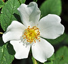 Purity of White (littlestschnauzer) Tags: uk flowers roses wild summer white west rose yellow yorkshire july stamen shrub pure radiant purity 2013 elementsorganizer11