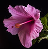 The Pink Hibiscus Probe (Bill Gracey) Tags: pink flower fleur garden flash flor hibiscus softbox softlight homestudio directionallight offcameraflash tabletopphotography radiotrigger yn560ii yongnuorf603n