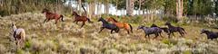 Be Still My Heart ... (Aspenbreeze) Tags: horses rural wildlife country mountainside wildhorses equine openrange mustangs coloradowildlife aspenbreeze moonandbackphotography bevzuerlein